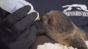 Baby sloth given special care after mom loses interest, Florida zoo officials say