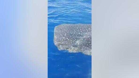 VIDEO: Florida fisherman passes massive whale shark off Florida coast