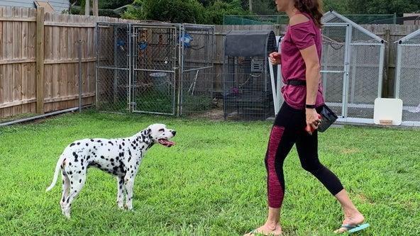 Dalmatian from Central Florida is a star in Disney's 'Cruella' movie