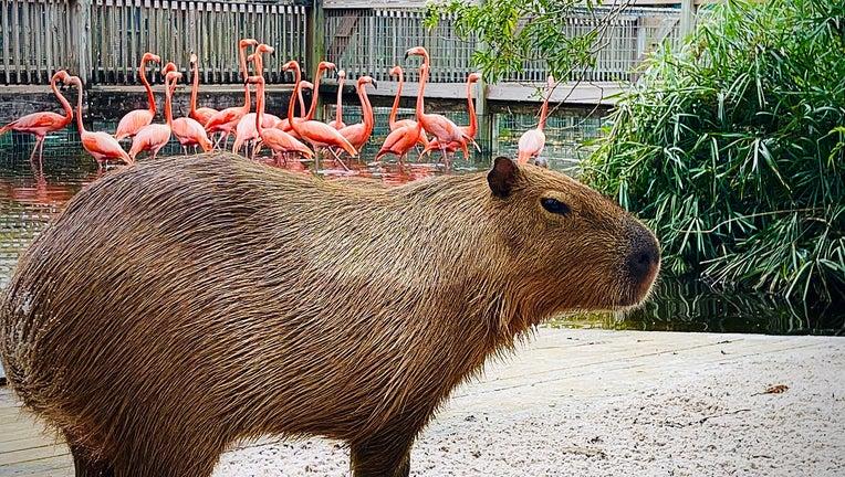 Capybara-on-Gatorland-Flamingo-Island.jpg