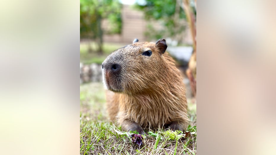 Gatorland-Capybara.jpg