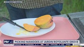 Picking mangoes at Jardin Rotolante Grove