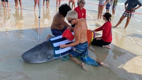 Officials: Beached whale in New Smyrna euthanized; evidence of heart failure found
