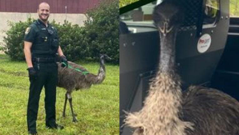 ST JOHNS COUNTY emu caught 091421